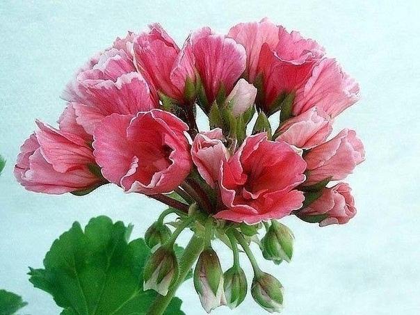 Герань тюльпановидная (источник: gofazenda)