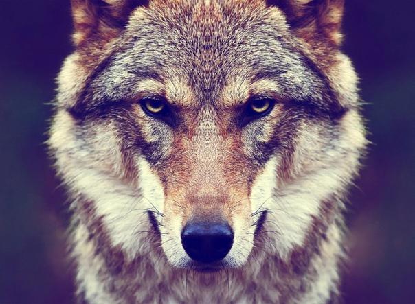 Волки Живые Обои Бесплатно