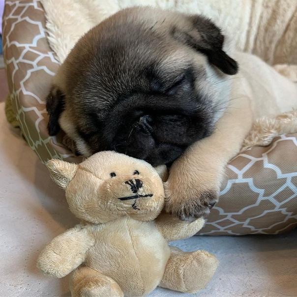 мопс спящий фото кук самый знаменитый