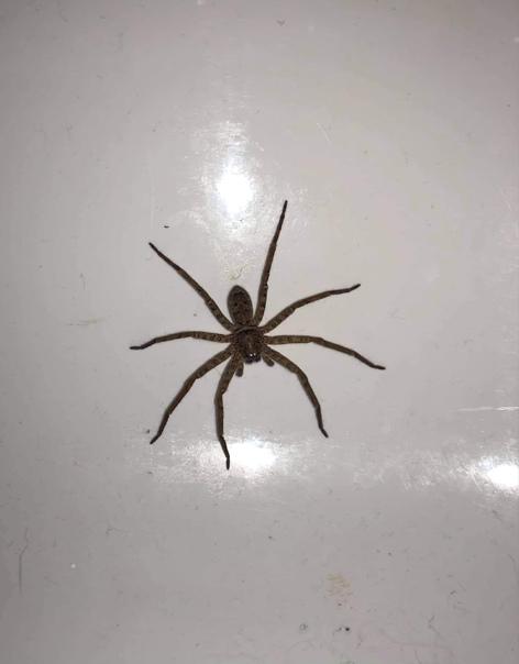 Спайдер -домосед. В минувшую пятницу некий Джейк Грей, проживающий в австралийском Квинсленде, опубликовал фотографию огромного членистоногого, обитающего в его доме.Он подписал:Посмотрите на