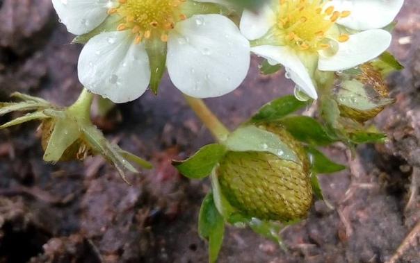 Чем подкормить клубнику после цветения  чтобы ягоды быстро наливались и все до последней были крупными