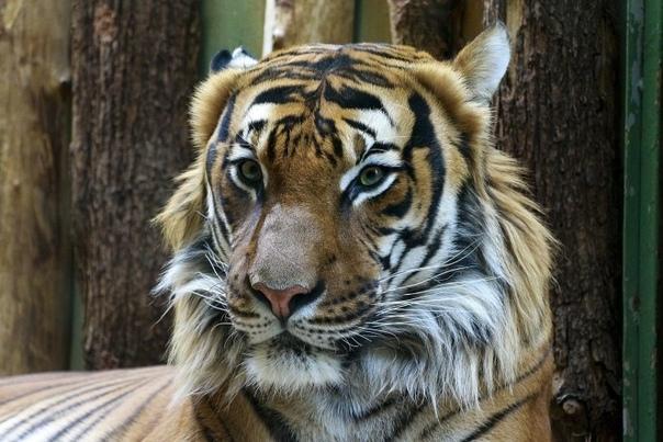 В Амурской области браконьеры убили краснокнижного амурского тигра Павлика Останки животного обнаружены вечером 23 сентября возле села Новостепановка Свободненского района. Возбуждено уголовное